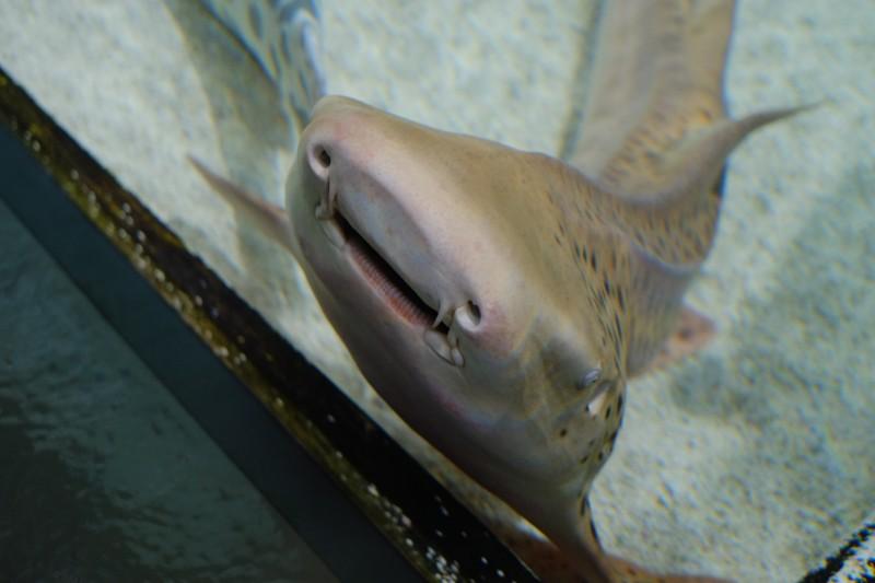 NIFREL|サメ