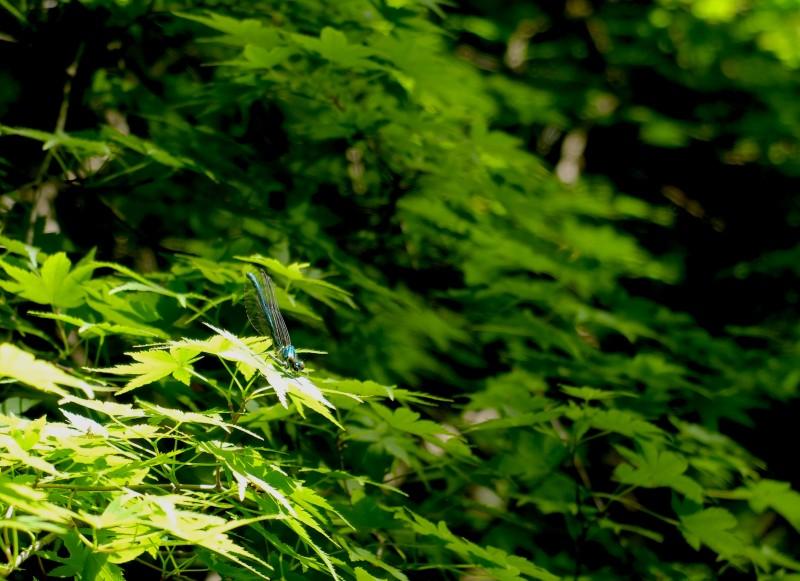 養老の滝|復路にて出会ったトンボ