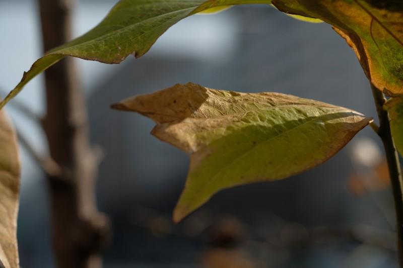 XF60mm F2.4 R Macro|葉っぱの写真