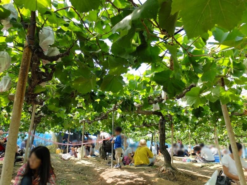 勧修寺観光農園(京都市山科区)|ぶどう園の様子