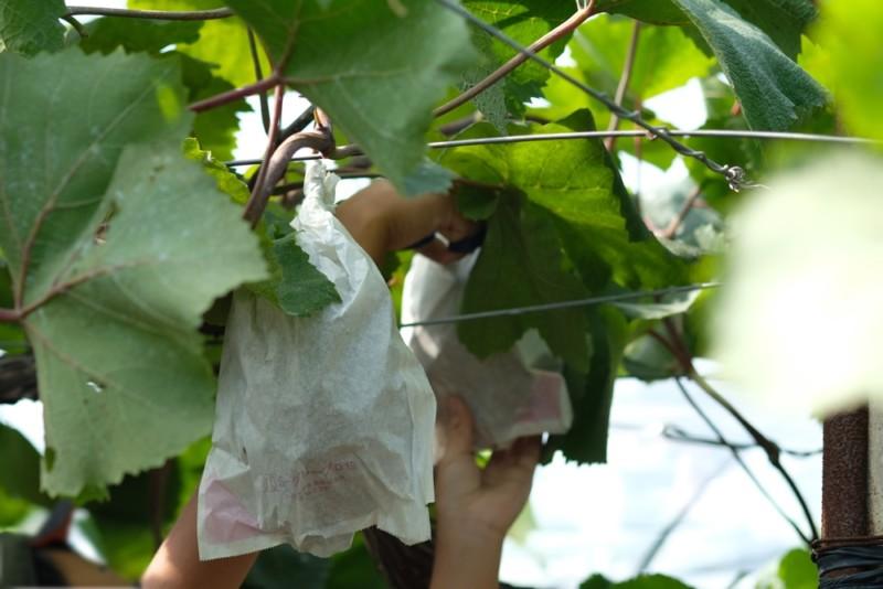 勧修寺観光農園(京都市山科区)|ぶどうを切り取るところ
