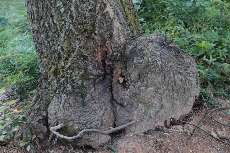 岩美町立町民いこいの里|樹液が出る木