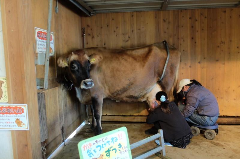 伊賀の里モクモク手作りファーム|乳牛の乳搾り体験